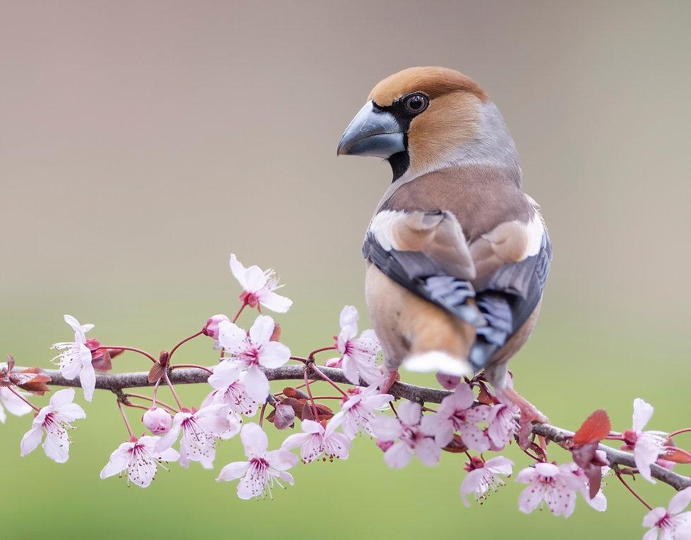 Appelvink in lentebloesem