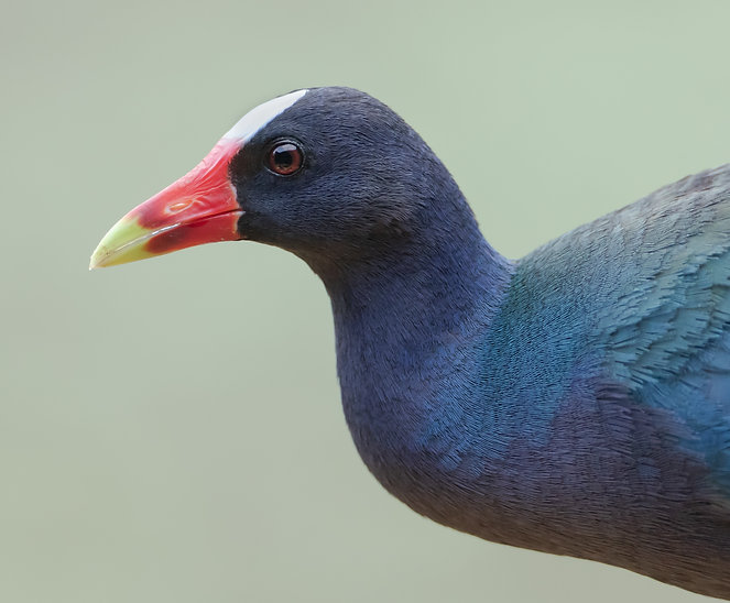 Purple gallinule portrait