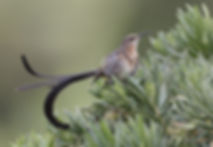 Kaapse suikervogel man met lang staart