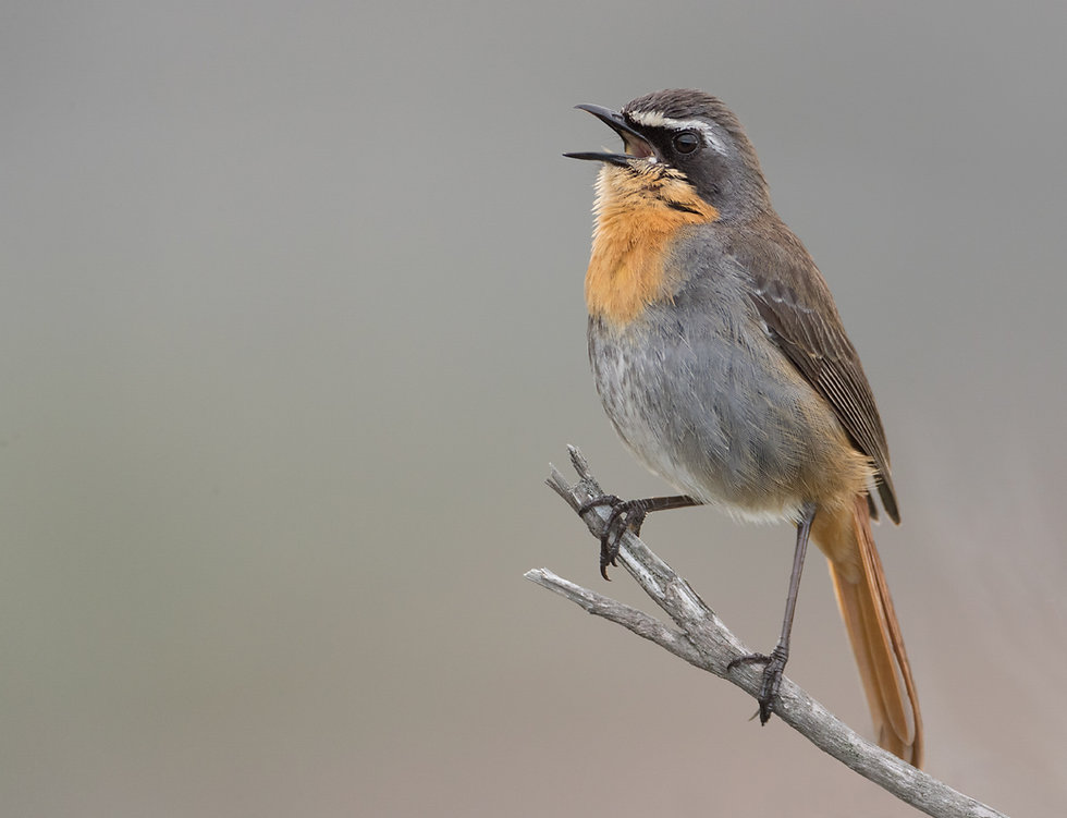 Kaapse lawaaimaker zingt het voorjaar toe