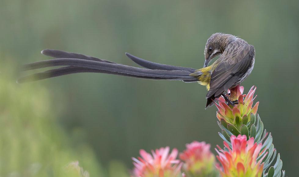 Kaapse suikervogel man toont zijn prachtige staart