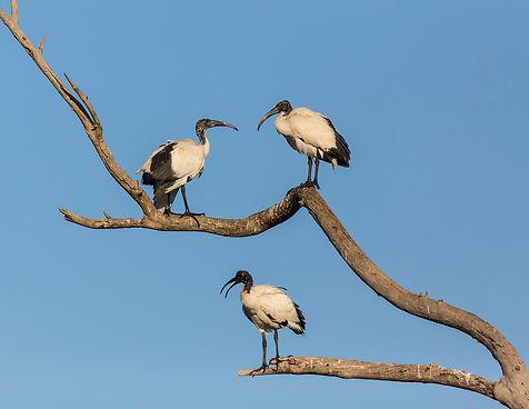 Lijnenspel van heilige ibis