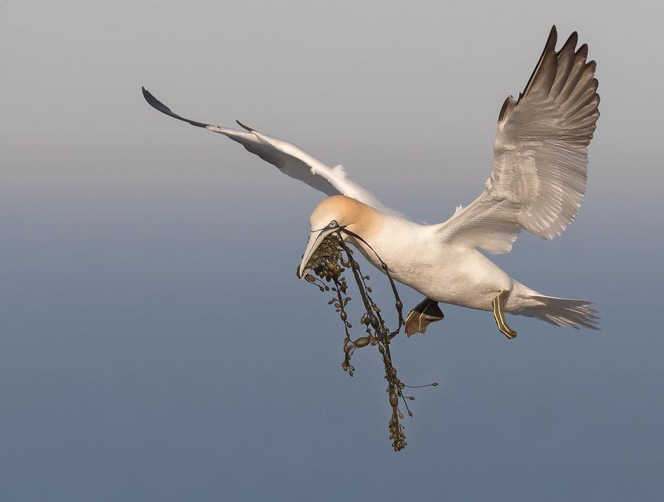 Jan-van-gent met voorraad nestmateriaal