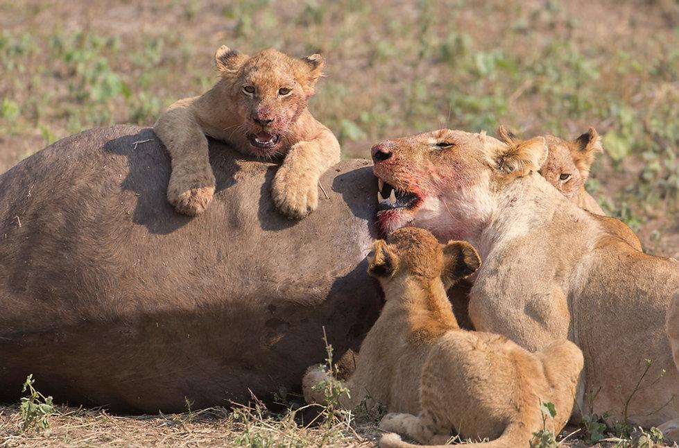 Leeuwen knabbelen aan een gedode buffe
