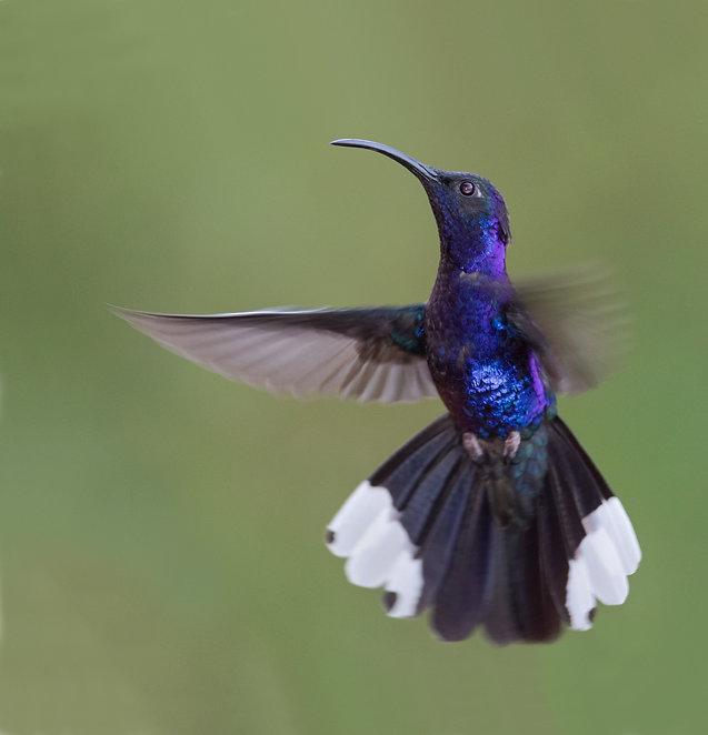 Violet sabrewing male in flight