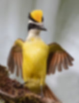 Great-kiskadee-in-love-2.jpg