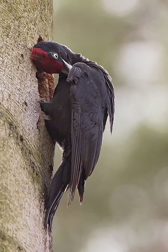 Black woodpecker male grooming its feathers