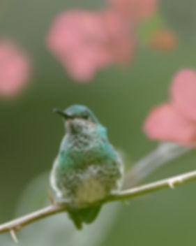 Whit-necked jacobin female under bougainvillea flowers