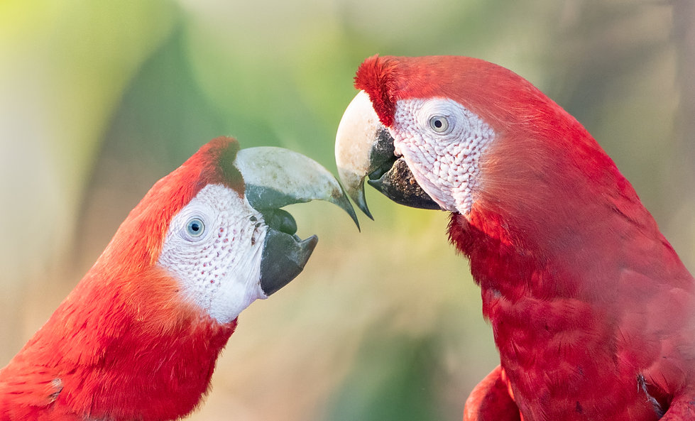 Scarlet macaws get acquainted