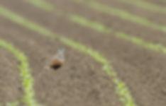 Morinelplevier: in strak groen lijnenspel