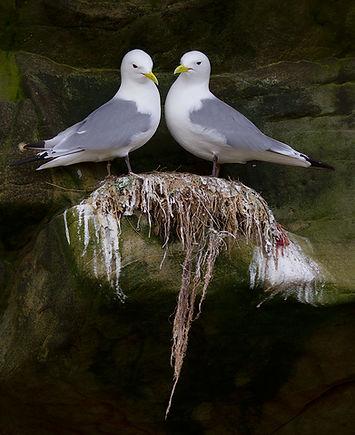 Drieteenmeeuwen op het nest