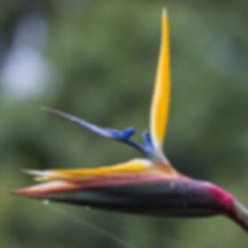 Gele strelitzia variant