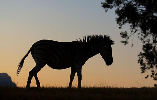Zebra en profile
