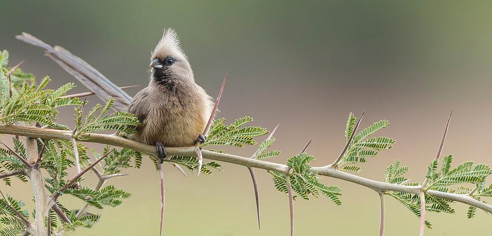 Bruine muisvogel in netelige situatie