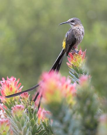 Kaapse suikervogel man in frisse voorjaarskleuren