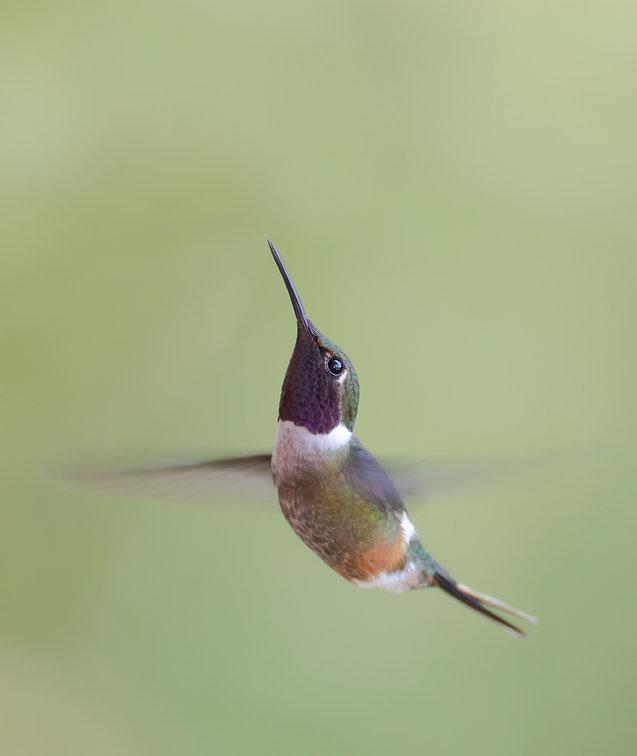 Magenta-throated woodstar male in flight 2
