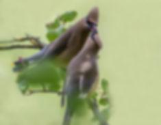 Cederpestvogels in intiem moment