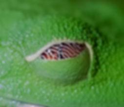 Red-eyed leaf frog eye lid detail