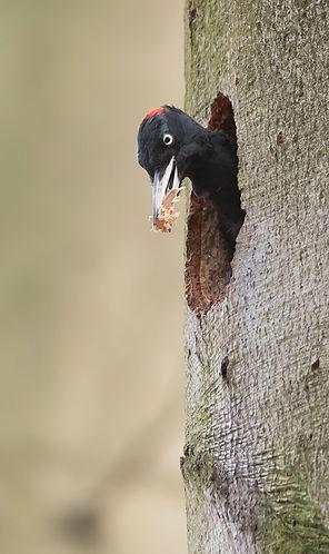 Black woodpecker female: job done!