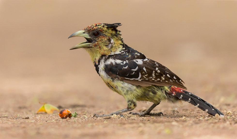 Kuifbaardvogel met ton-sur-ton maaltijd
