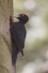 Black woodpecker male calling