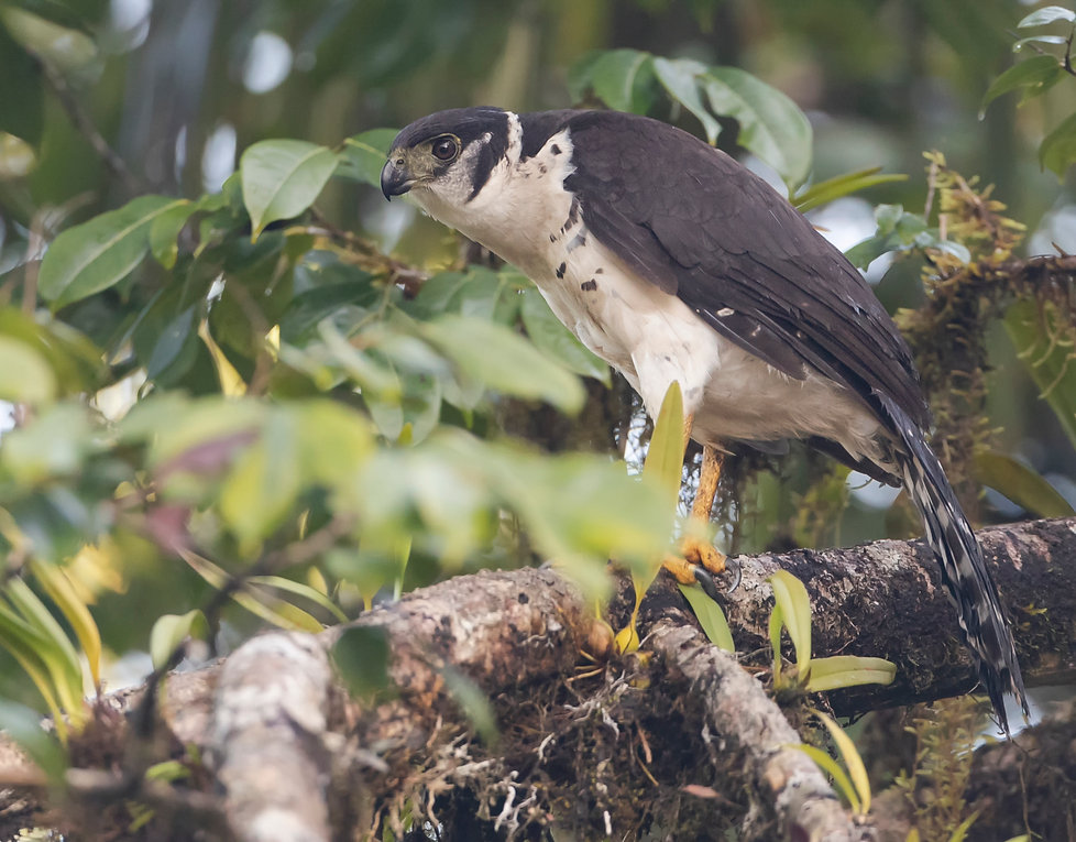 Collared-forest-falcon.jpg