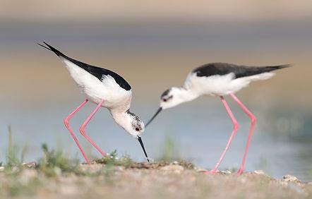 Steltkluut paar houdt samen toezicht op het nest