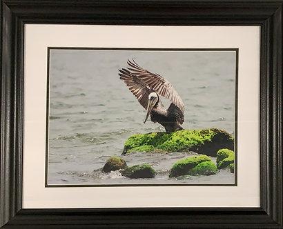 Pelican Praise (20x24 Framed)