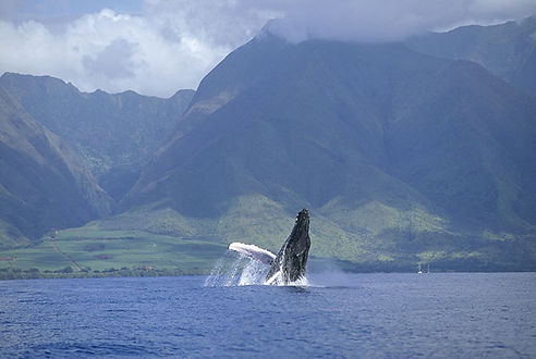 whales in hawaii.jpg