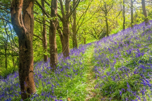 Bluebell Walk in Mount Edgcumbe Estate