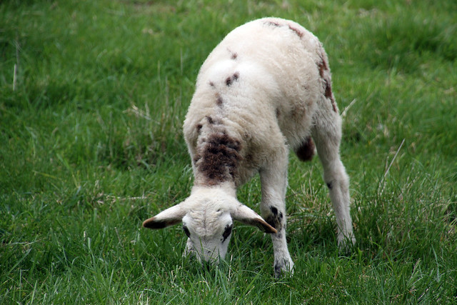 Supplementation of Grass-fed Lambs