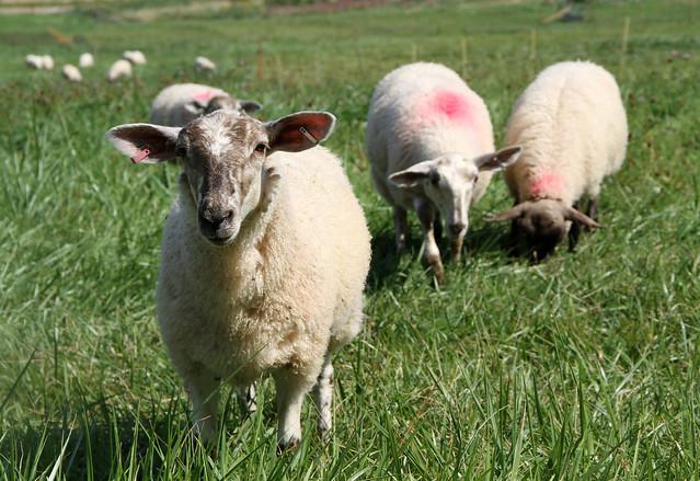 Lambs grazing in Nova Scotia