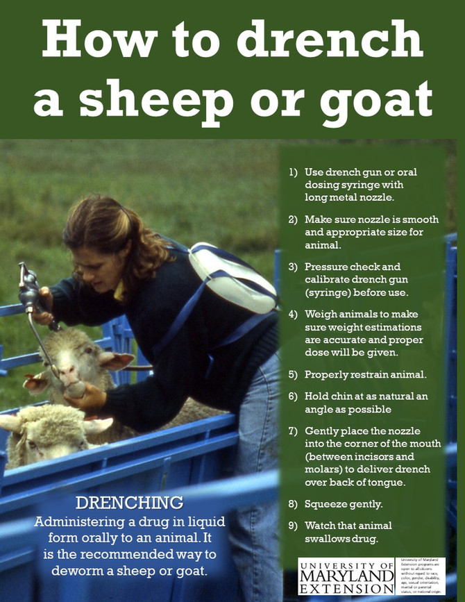How to drench a sheep or goat