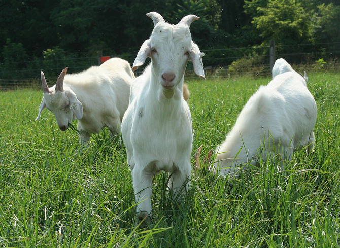 Anthelmintic Resistance in Meat Goats
