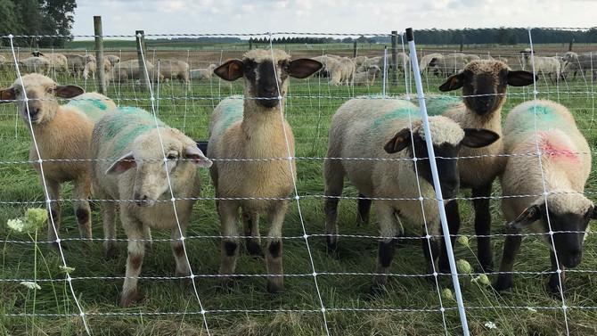Supplementation of Lambs in Ohio