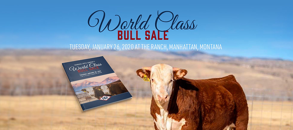 Churchill Cattle Bull Sale