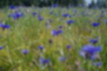 Cornflowers in fields near Munster, Wesphalia