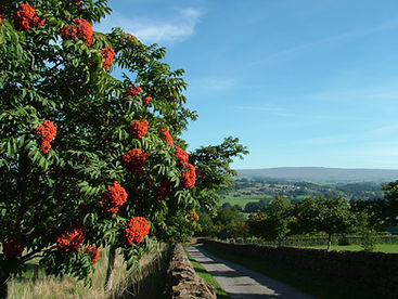 Berries, mountain ash, eden valley, scene