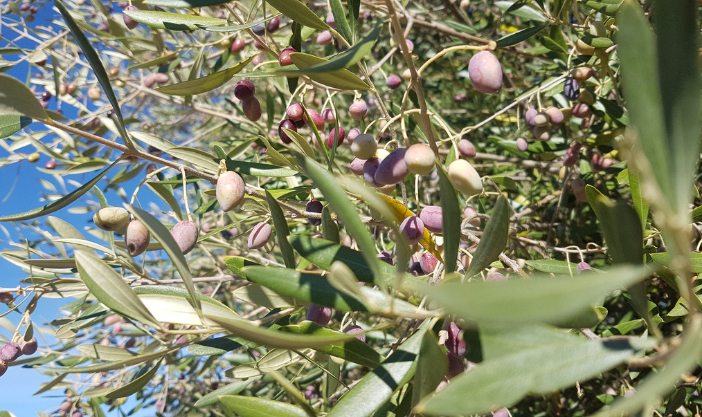 olives-2680075_1920.jpg