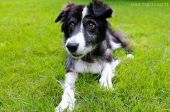 border-collie1.png