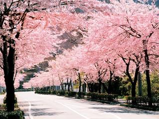 茅ヶ崎元町整体院 桜より梅派