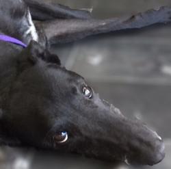 Rossie greyhound 23