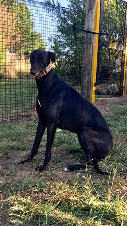 Maggie greyhound 43