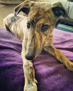 Oddie greyhound puppy 45