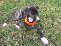Brinn greyhound puppy 37
