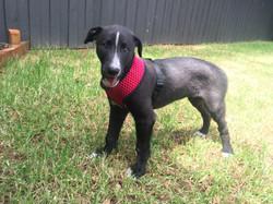 Pud greyhound puppy 36