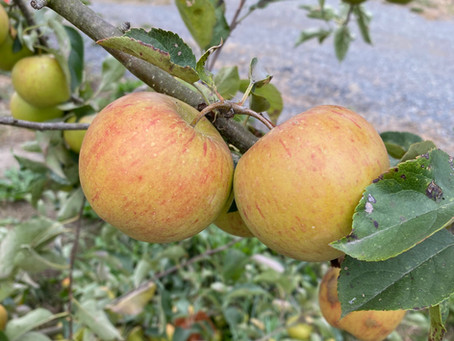 Come pick apples!