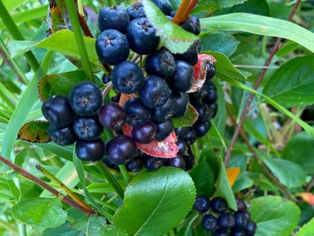 UPICK Aronia berries!
