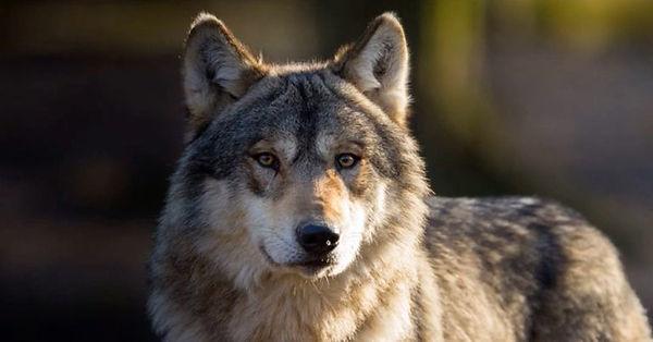 Wolf-OR-54-768x402.jpg