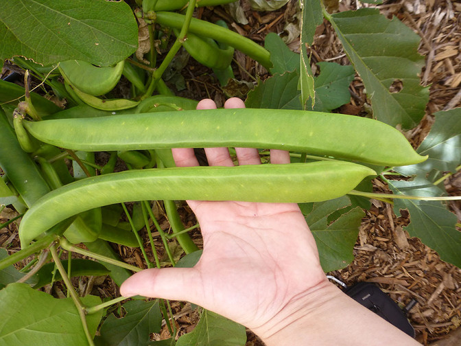 Reviving Jack Beans - Native Seed/SEARCH
